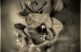 Kral • Photography » Projekt »Fensterblume