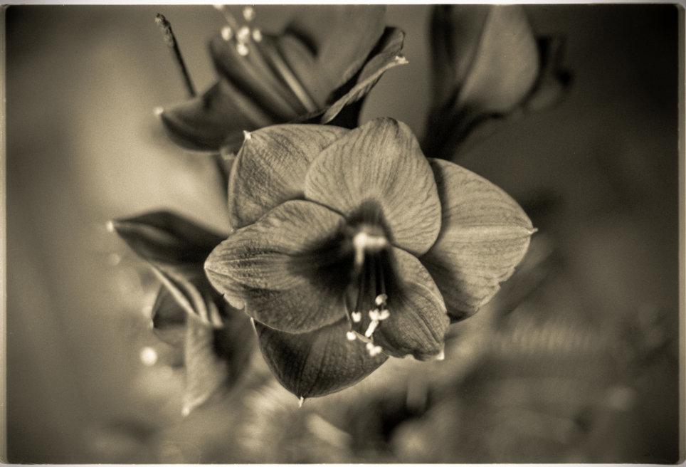 Fensterblume